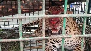 SafeValue must use [property]=binding: মালবাজারের সেই চা-বাগানেই ফের বনদপ্তরের ফাঁদে চিতাবাঘ (see http://g.co/ng/security#xss)